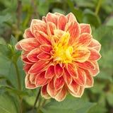 Dalia anaranjada de la flor Fotografía de archivo libre de regalías