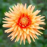 Dalia anaranjada de la flor Foto de archivo