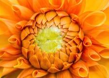Dalia arancio Fotografie Stock Libere da Diritti
