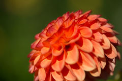 Dalia arancio, fondo verde, di estate Fotografia Stock