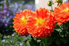Dalia arancio luminosa Fotografia Stock Libera da Diritti