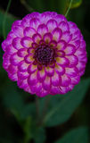 Dalia. Beautiful violet dalia with its leaves in the background Royalty Free Stock Images