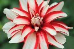 Dalia biancastra rossa del fiore nella regolazione verde del fondo Immagini Stock