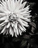 Dalia. Black and white photos of a dalia Stock Images