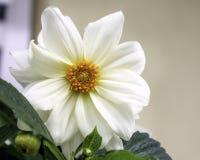 Dalia blanca Foto de archivo libre de regalías