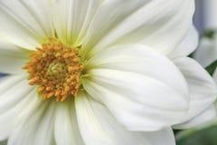 Dalia blanca Imagen de archivo
