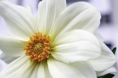 Dalia blanca Imagen de archivo libre de regalías