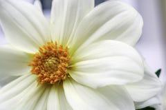 Dalia blanca Fotografía de archivo