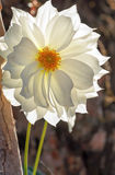 Dalia blanca del jardín Imágenes de archivo libres de regalías