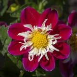 Dalia blanca y amarilla roja maravillosa fotos de archivo