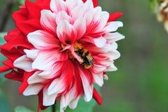Dalia blanca y roja hermosa Fotografía de archivo