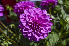 Dalia blooming in the garden on a sunny summer day. Stock Photo