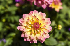 Dalia blooming in the garden on a sunny summer day. Dalia blooming in the garden on a sunny summer day Royalty Free Stock Photo