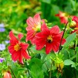 Dalia, bombo su un fiore Mettalo a fuoco sui fiori shallow immagini stock libere da diritti