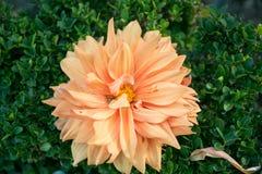 Dalia colorida de la flor Foto de archivo libre de regalías