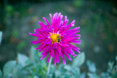 Dalia colorida de la flor Fotos de archivo libres de regalías