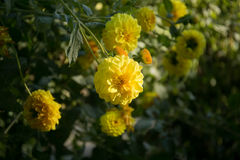 Dalia colorida de la flor Imagen de archivo libre de regalías