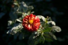 Dalia colorida de la flor Imagen de archivo