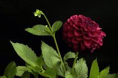 Dalia czerwony kolor; kwiaty na czarnym tle zdjęcie royalty free