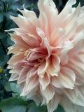 Dalia. Orange flower Royalty Free Stock Image