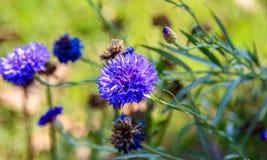 Dalia. Purple Flower Stock Photos