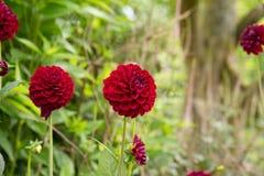 Dalia. Dark red Dalia flowers blooming Stock Photos