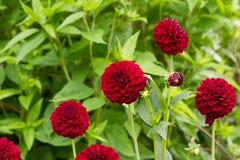 Dalia. Dark red Dalia flowers blooming Royalty Free Stock Photography