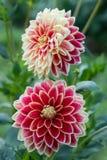 Dalia de la flor Imagen de archivo
