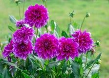 Dalia de la flor Imagen de archivo libre de regalías