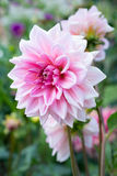 Dalia de la flor Fotos de archivo