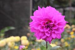 Dalia de la flor Fotografía de archivo