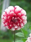 Dalia de la flor Imágenes de archivo libres de regalías
