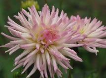 Dalia de la flor Foto de archivo libre de regalías