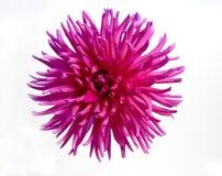 Dalia del color de rosa caliente Fotos de archivo libres de regalías