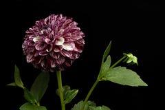 Dalia del color púrpura en un fondo negro Fotografía de archivo libre de regalías