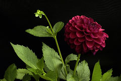 Dalia del color rojo; flores en un fondo negro Foto de archivo libre de regalías