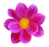 Dalia del crisantemo Fotografia Stock Libera da Diritti