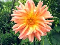 Dalia del giardino floreale immagini stock