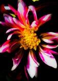 Dalia doble Imagenes de archivo