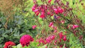 Dalia e flores cor-de-rosa no jardim de corte vídeos de arquivo