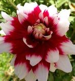 Dalia elegante roja y blanca Imagenes de archivo