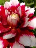 Dalia elegante roja y blanca Foto de archivo