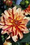 Dalia flower. A beautiful dalia blooming in the sunshine Royalty Free Stock Image