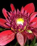 Dalia flower royalty free stock photography