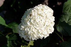 Dalia Flower on the garden Stock Image