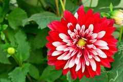Dalia flower. In a garden Royalty Free Stock Images