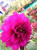 Dalia. Flower image download for wallpaper Royalty Free Stock Photos