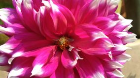 Dalia. Flower pic Royalty Free Stock Photo