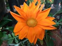 Dalia or dahlia. Dalia flower, scientifically called as dahlia pinnata Stock Photo