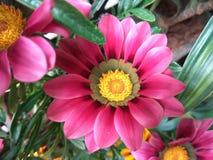 Dalia or dahlia. Dalia flower, scientifically called as dahlia pinnata Stock Image